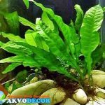 Tanaman Air | Microsorium pteporus