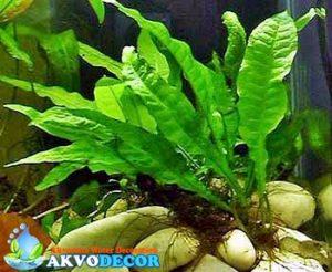 Microsorium pteporus