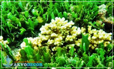 Biota Laut,Tumbuhan Laut,Akuarium Air Laut,Jual Tumbuhan Laut,Jual Biota Laut
