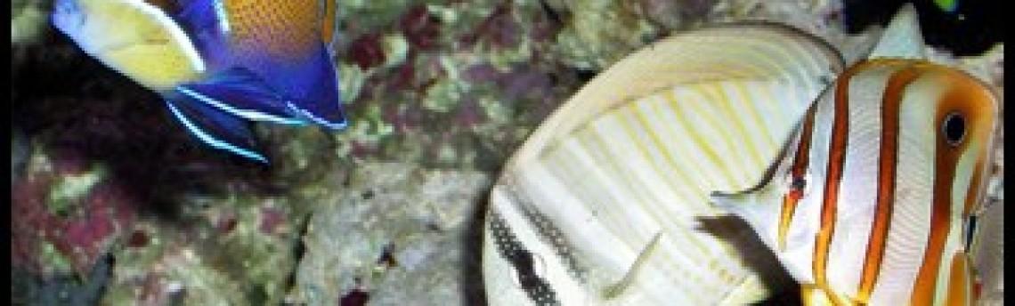 Perburuan Ikan Dan Biota Laut Untuk Akuarium Air Laut