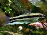 Jenis Ikan Pemakan Lumut Aquarium Air Tawar