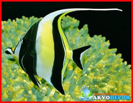 Mengenal Ikan Moorish Idol Secara Mudah
