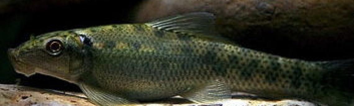 Ikan Pemakan Alga Aquascape Yang Bagus