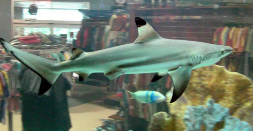Jual Ikan Hiu Black Tip