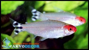 Jenis Ikan Hias Aquascape,jual ikan hias aquascape jakarta,jual murah ikan aquascape
