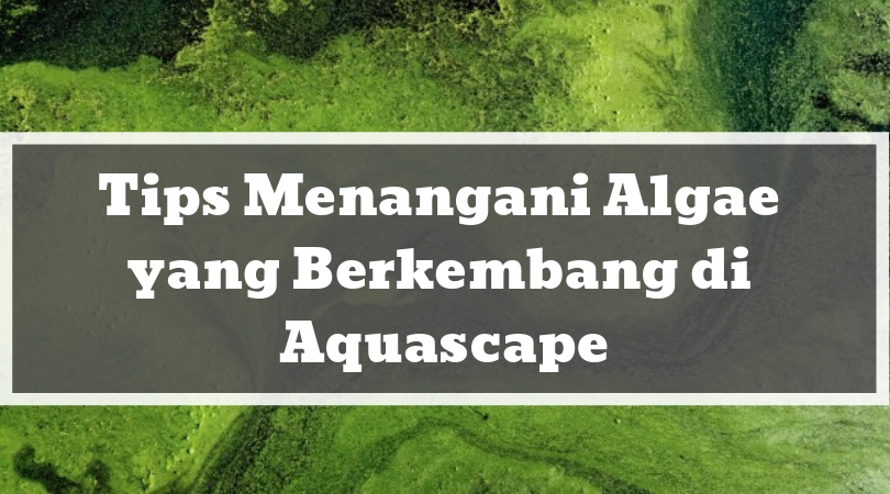Tips Menangani Algae yang Berkembang di Aquascape