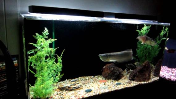 Begini Ciri Aquarium Arwana yang Baik dan Nyaman