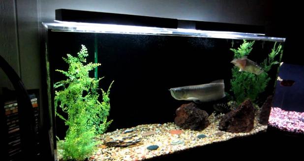 Aquarium Arwana yang Baik