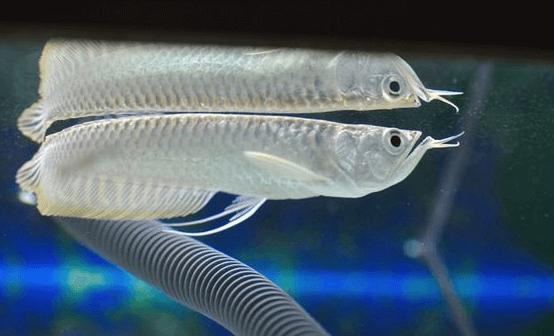 Toko Aquarium Arwana Jakarta dengan Harga dan Kualitas Terbaik