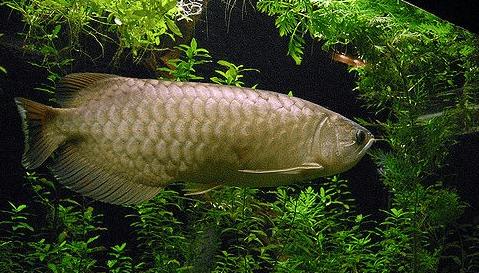 Toko Aquarium Arwana Tangerang
