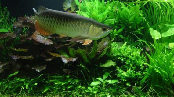 Tempat Jual Aquarium Arwana Bogor dengan Berbagai Ukuran