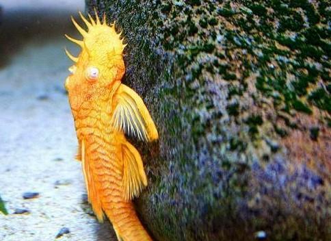Ikan Pemakan Lumut Untuk Aquascape - Ikan Brushmouth
