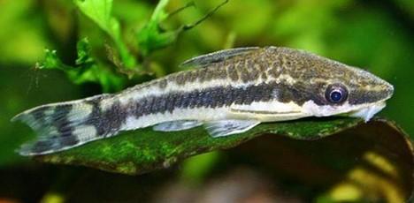 Ikan Pemakan Lumut Untuk Aquascape - Ikan CAE