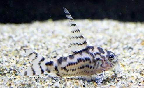 Ikan pemakan lumut untuk aquascape - Ikan Corydoras