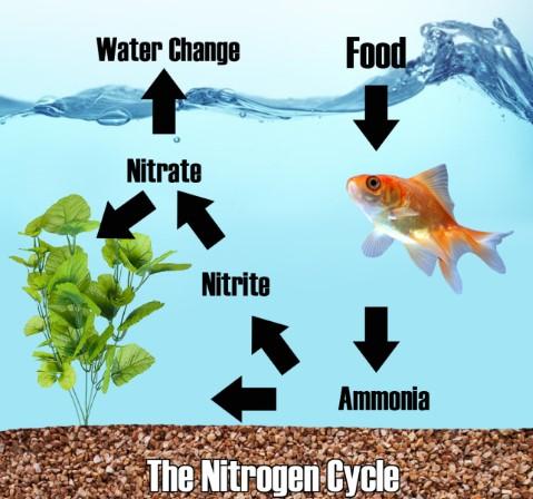 Apa Itu Nitrogen Cycle Bahayakah untuk Aquarium Air Laut