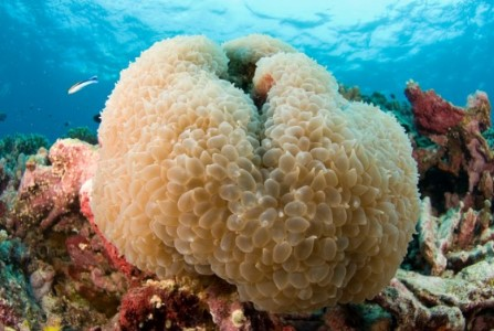 Merawat Karang Aquarium Air Laut - Bubble Coral