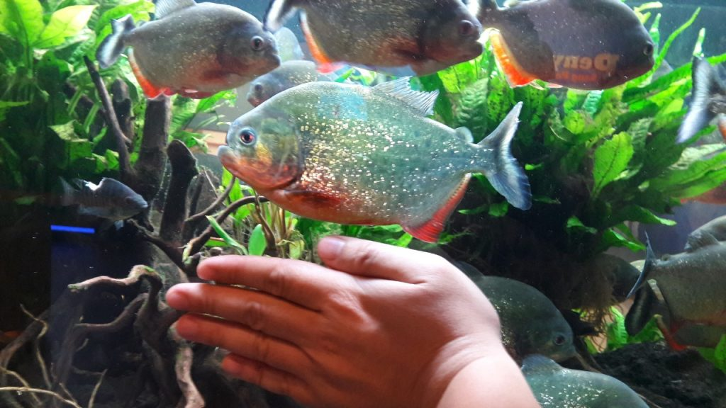 Contoh Aquascape Piranha