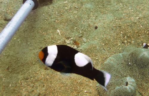 Tipe-Tipe Ikan Badut - Amphiprion Polymnus