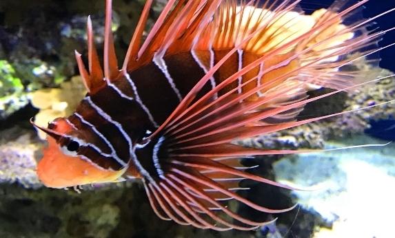 Ikan Lepu (Scorpionfish) Si Penghuni Karang yang Mematikan