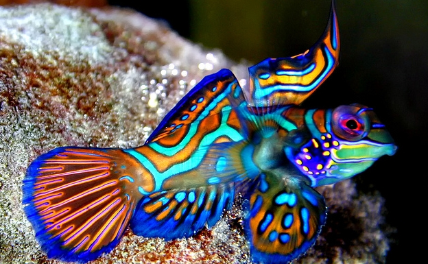 Ikan Mandarin Si Makhluk Laut Kecil yang Cantik