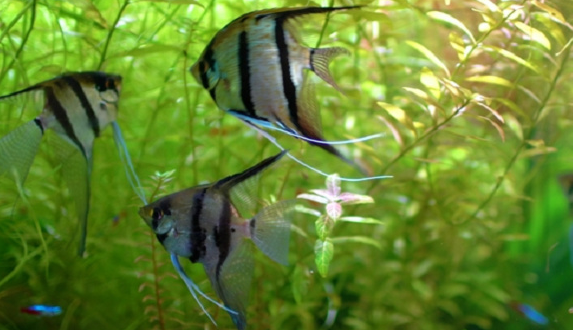 Manfish (Pterophyllum scalare)