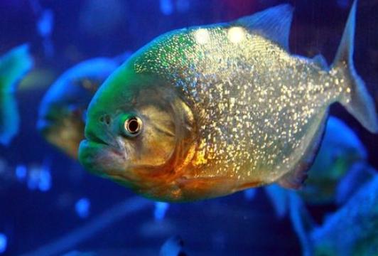 Piranha Si Bawal Ganas dari Amazon