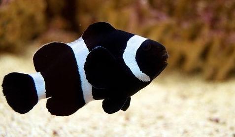 Black Percula Clownfish (Amphiprion percula var.)