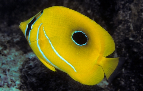Blue Lashed Butterflyfish