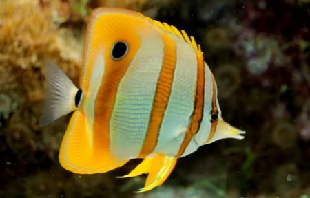 Butterflyfish (kepe-kepe)