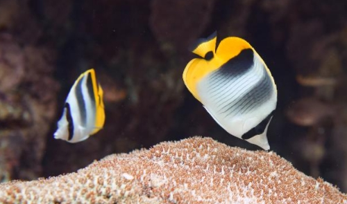 Double Saddle Butterflyfish