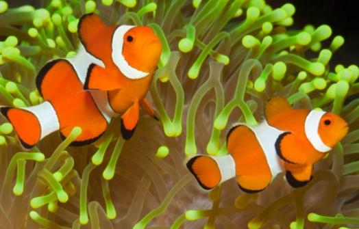 Ikan Badut (Clownfish)