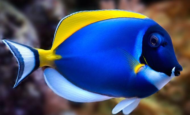 Ikan Botana