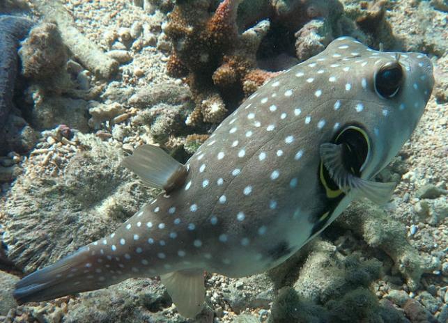 Ikan Buntal Si Ikan Lucu dan Imut yang Beracun