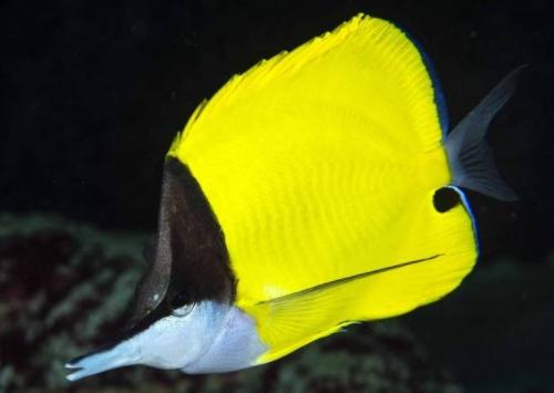 Ikan Kepe-kepe Monyong