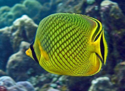 Ikan Kepe-kepe Nanas
