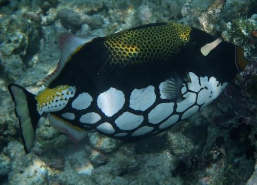 Ikan Trigger (Balistidae)