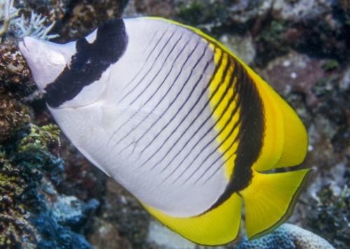Lined Butterflyfish (Chaetodon lineolatus)