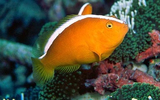 Orange Skunk Clownfish (Amphiprion sandaracinos)