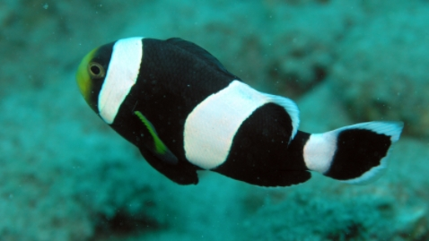 Saddleback Clownfish (Amphiprion polymnus)
