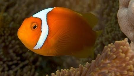White Bonnet Clownfish (Amphiprion leucokranos)