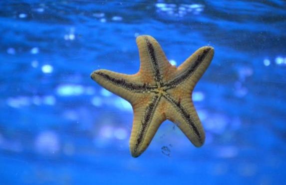 mengenal bintang laut