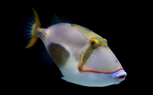 Blackbelly Triggerfish