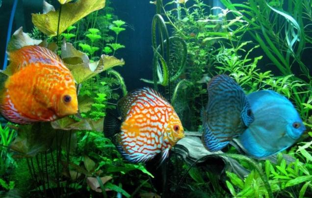 Cara Memilih Ikan Diskus