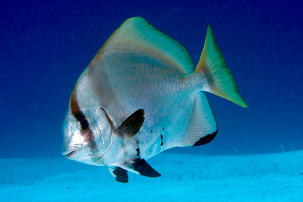 Humpback Batfish