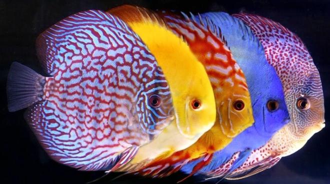 Ikan Diskus, Inilah Cara Memeliharanya dengan Benar