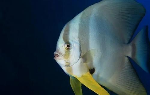Jenis Batfish Yang Cocok Dipelihara Dalam Aquarium Air Laut