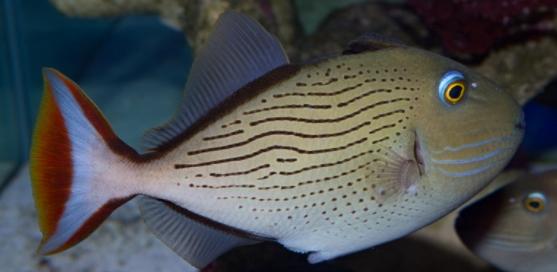Linespot Triggerfish