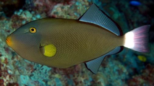 Pinktail Triggerfish 3RR