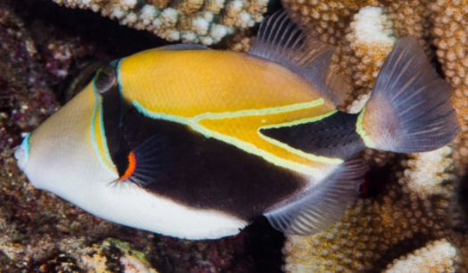 Wedgetail Triggerfish