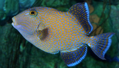 Yellow-Spotted Triggerfish